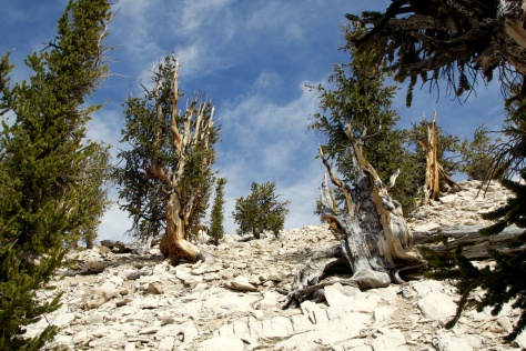Ancient Bristlecones stand watch at 10,000 feet