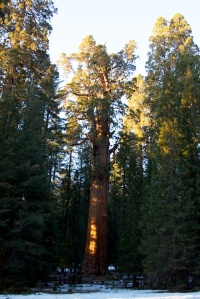 The General Sherman stands guard