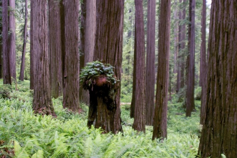 Towering Redwoods in Redwood National and State Parks