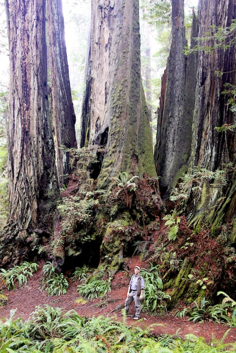 Massive old trees, such as they coast redwoods, store carbon for centuries.