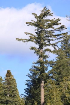 Beautiful sugar pines join the sequoia