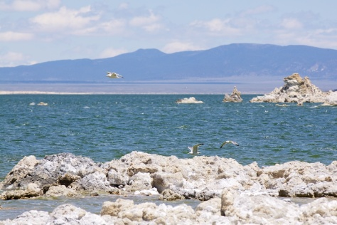 Gull Colonies at Mono Lake