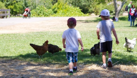 Chasing Chickens at Ardenwood