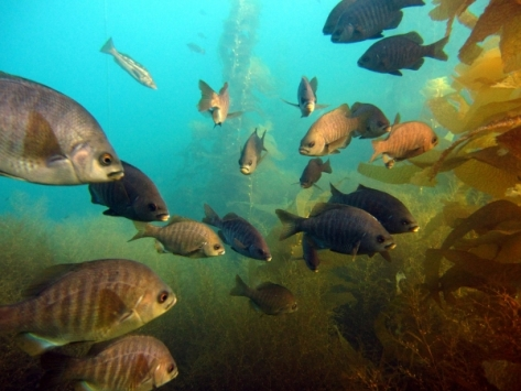 Black perch congregate in MPA off Catalina Island (Heal the Bay)