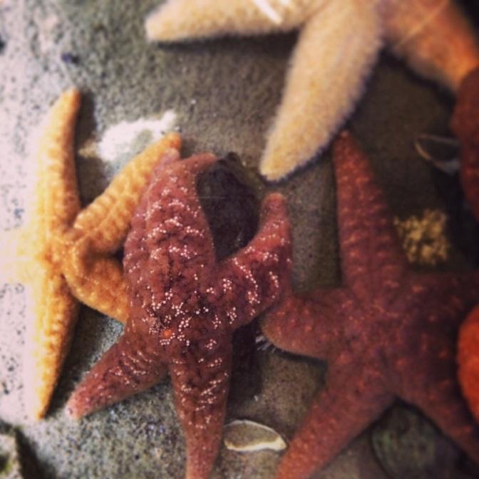 Meet the ochre sea star